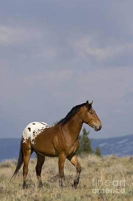 Young Mustang Stallion Poster