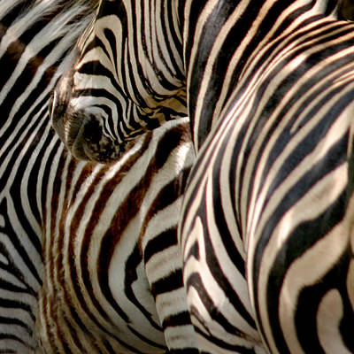 Zebra Stripes Poster by Joseph G Holland