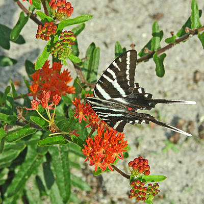 Poster featuring the photograph Zebra Swallowtail by Peg Urban