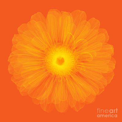 Zinnia Flower, X-ray Poster