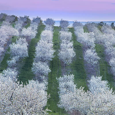 Cherry Blossoms In Traverse City Poster