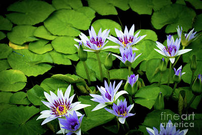 Water Lilies And Lily Pads Poster by Amy Cicconi