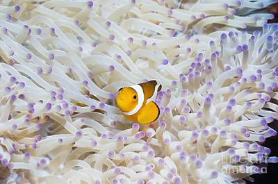 False Clown Anemonefish Poster by Georgette Douwma
