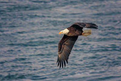 Poster featuring the photograph Bald Eagle by Peter Lakomy