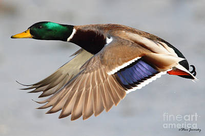 Male Mallard Duck In Flight Poster
