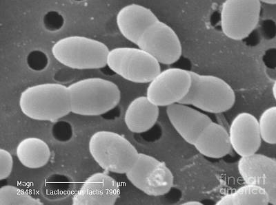 Lactococcus Lactis Poster