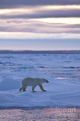 Polar Bear In Svalbard Poster by Jean-Louis Klein & Marie-Luce Hubert