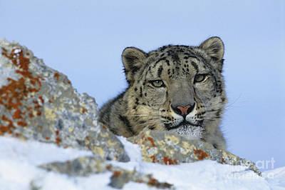 Snow Leopard Poster by Jean-Louis Klein & Marie-Luce Hubert