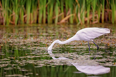 White, Great Egret Poster