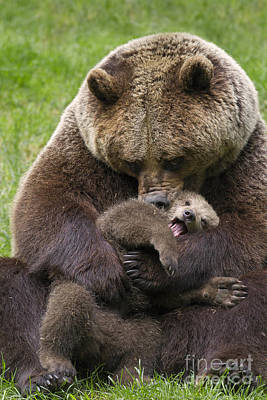 Mother Bear Cuddling Cub Poster by Arterra Picture Library