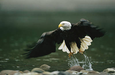 An American Bald Eagle In Flight Poster