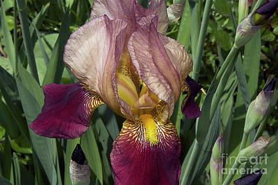Nice Iris Poster