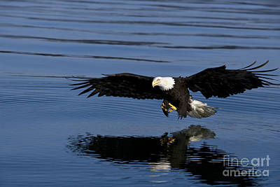 Bald Eagle Poster by John Hyde - Printscapes