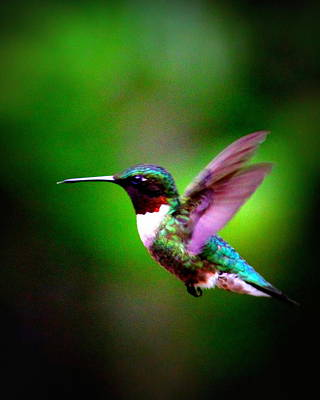 1846-007 - Ruby-throated Hummingbird Poster by Travis Truelove