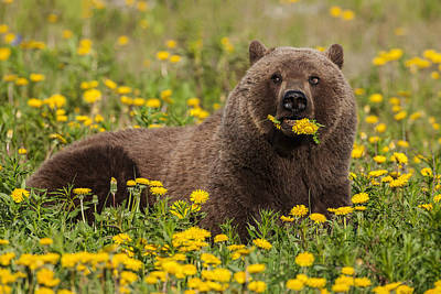 A Brown Bear Forages On Dandelions Poster by John Hyde