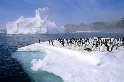 Adelie Penguin Pygoscelis Adeliae Group Poster by Tui De Roy