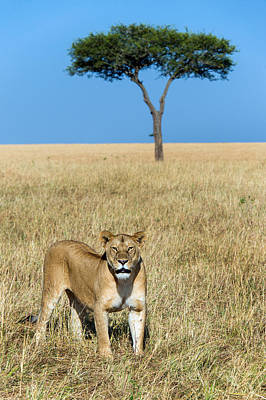 African Lioness Panthera Leo, Serengeti Poster by Panoramic Images