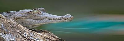 American Crocodile Crocodylus Acutus Poster by Panoramic Images