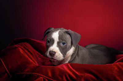 American Pitbull Puppy Poster by Peter Lakomy