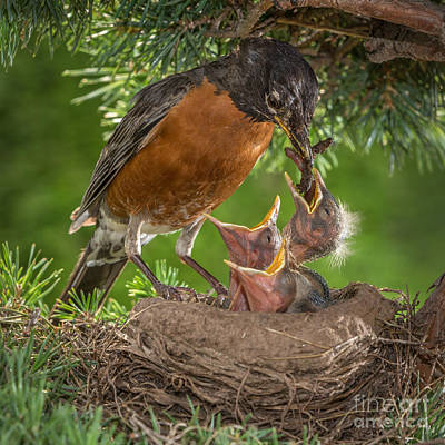 American Robin Feeding Chicks Poster