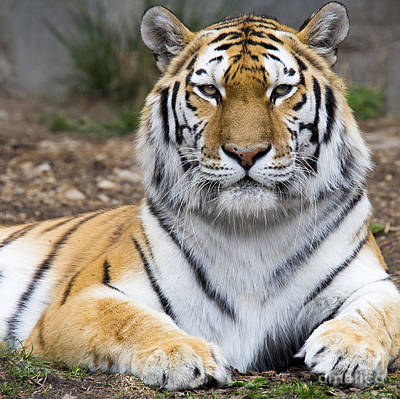 Amur Tiger Poster by Twenty Two North Photography
