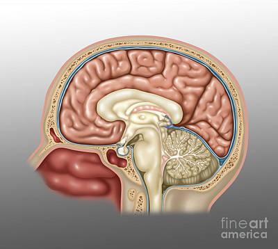 Anatomy Of Brain, Illustration Poster by Gwen Shockey