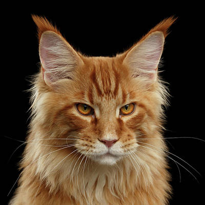 Angry Ginger Maine Coon Cat Gazing On Black Background Poster by Sergey Taran
