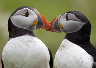 2 Atlantic Puffins Touching Beaks Poster by Jonathan Lewis