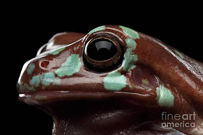 Australian Green Tree Frog, Or Litoria Caerulea Isolated Black Background Poster by Sergey Taran
