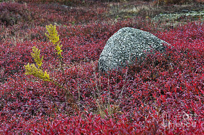 Autumn Blueberry Field Poster