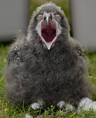 Poster featuring the photograph Baby Snowy Owl by JT Lewis