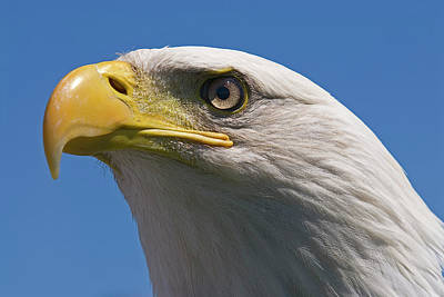 Poster featuring the photograph Bald Eagle by JT Lewis