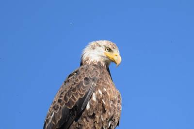 Bald Eagle Juvenile Perched Poster