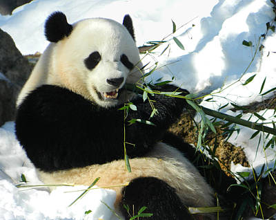 Bao Bao Sittin' In The Snow Taking A Bite Out Of Bamboo1 Poster by Emmy Marie Vickers