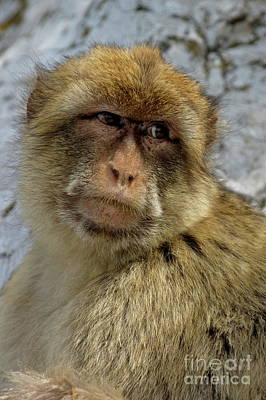 Barbary Macaque Looking Away In Annoyance Poster by Sami Sarkis