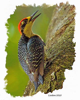 Black-cheeked Woodpecker Poster by Larry Linton
