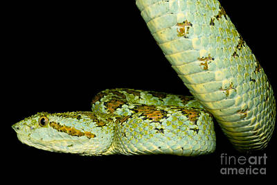 Blotched Palm Pitviper Poster by Dant� Fenolio