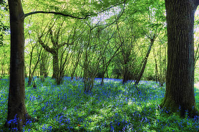 Bluebells In The New Forest Poster