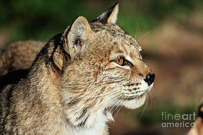 Bobcat Portrait Poster by Richard Smith