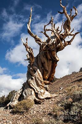 Bristlecone Pine Poster by Richard Smukler