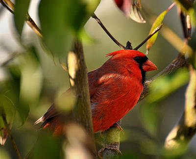 Cardinal 2 Poster by Todd Hostetter