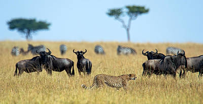 Cheetah Acinonyx Jubatus Chasing Poster by Panoramic Images