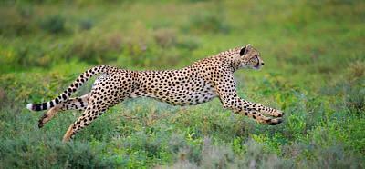 Cheetah Acinonyx Jubatus Hunting Poster by Panoramic Images