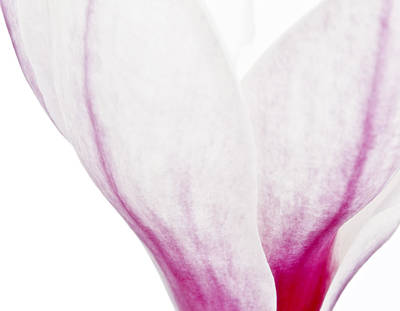Poster featuring the photograph Abstract White Red Pink Flowers Macro Photography Art Work by Artecco Fine Art Photography