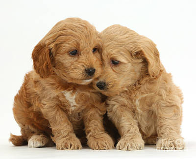 Cockapoo Puppies Poster