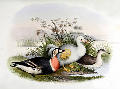 Dodo Bird, Hunted To Extinction Poster by Biodiversity Heritage Library