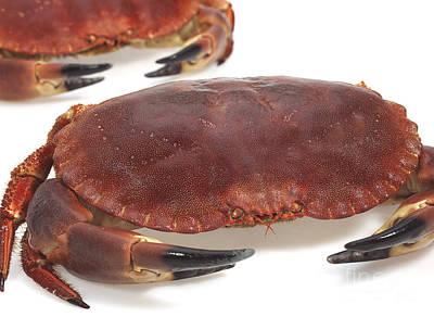 Edible Crab Cancer Pagurus Poster by Gerard Lacz