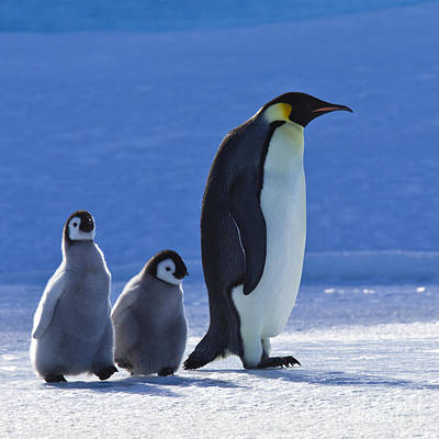 Emperor Penguin And Chicks Poster by Jean-Louis Klein & Marie-Luce Hubert