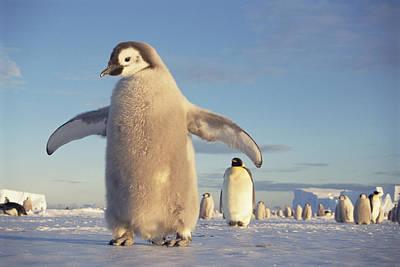 Emperor Penguin Aptenodytes Forsteri Poster by Tui De Roy