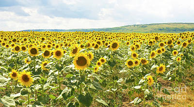 Field With Sunflowers Poster
